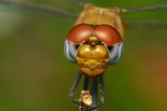 Macro portrait of a Dragonfly - stock photo Royalty Free Stock Photo