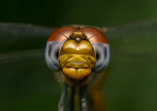 Macro portrait of a Dragonfly - stock photo Royalty Free Stock Photo