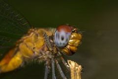 Macro portrait of a Dragonfly - stock photo Royalty Free Stock Image