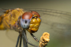 Macro portrait of a Dragonfly - stock photo Stock Photo