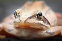 Macro portrait of european agile frog Stock Photos