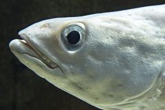 Macro portrait of fish Royalty Free Stock Images