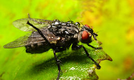 Portrait of a wet housefly Stock Images
