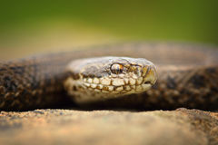 Macro portrait of juvenile meadow adder stock photos