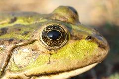 Macro portrait of marsh frog Royalty Free Stock Photo
