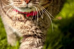 Macro portrait with selective focus of domestic cat`s mouth and whiskers royalty free stock image