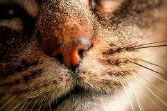 Macro portrait with selective focus of domestic cat`s mouth and whiskers royalty free stock photography