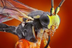 macro portrait of small wasp   Stock Image