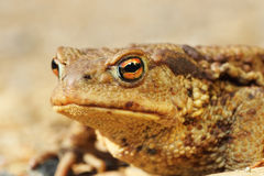 Macro portrait of ugly brown toad Royalty Free Stock Image