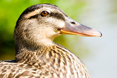 Macro portrait of  wild ducks Royalty Free Stock Photo