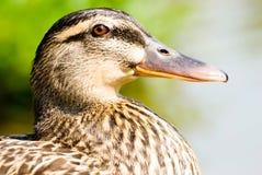 Macro portrait of  wild ducks. Face of female wild duck. maleness mallard Royalty Free Stock Photo