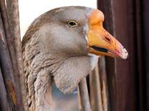 Macro portrait of young grey goose Stock Image