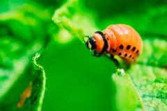 Macro pousse d'insecte de pomme de terre sur la feuille image stock