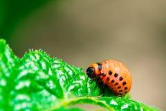 Macro pousse d'insecte de pomme de terre sur la feuille photographie stock libre de droits