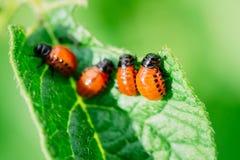 Macro pousse d'insecte de pomme de terre sur la feuille image libre de droits
