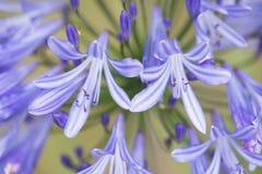 Macro próximo acima de um lírio azul africano de florescência Fotos de Stock Royalty Free
