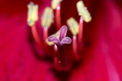 Macro próximo acima do estame e do pilão cor-de-rosa de Amaryllis Fotos de Stock Royalty Free