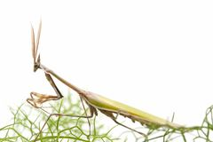 Macro of praying mantis Royalty Free Stock Photo