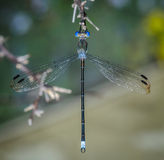 Macro preto e azul da libélula Imagens de Stock Royalty Free