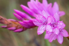 Macro of pretty pink flower with dew drops Royalty Free Stock Image