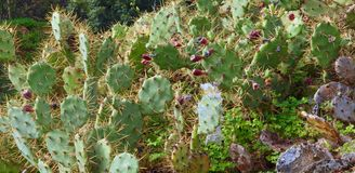 Wild prickly pears cacti outside. Macro of prickly pears cacti in wild nature stock images