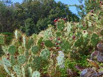Wild prickly pears cacti outside. Macro of prickly pears cacti in wild nature royalty free stock images