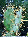 Wild prickly pears cacti outside. Macro of prickly pears cacti in wild nature stock image