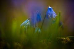 Macro Primevère - fleur de bleu de Scilla Siberika Photo libre de droits