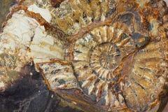 Macro primo piano al bello fossile del amonite Fotografia Stock Libera da Diritti