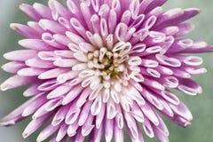 Primo piano del fiore del crisantemo Fotografie Stock