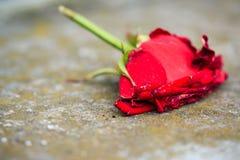 Macro primo piano della rosa rossa di morte d'appassimento Fotografie Stock Libere da Diritti