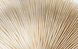 Macro primo piano delle branchie del fungo nel bianco immagine stock