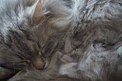 Macro primo piano di bello gatto siberiano fotografia stock