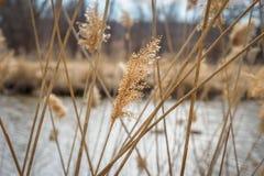 Macro primo piano di erba alta che soffia in vento Fotografia Stock Libera da Diritti