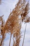 Macro primo piano di erba alta che soffia in vento Immagine Stock
