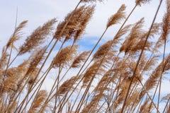 Macro primo piano di erba alta che soffia in vento Immagini Stock Libere da Diritti