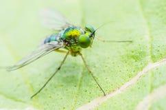 Macro primo piano eccellente di fine della mosca Immagini Stock Libere da Diritti