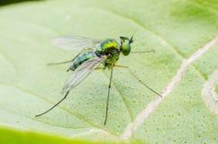 Macro primo piano eccellente di fine della mosca Fotografia Stock