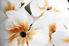 Macro   primrose. Royalty Free Stock Image