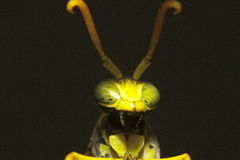 Macro principal del insecto Fotografía de archivo