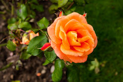 Macro principal rose de grande orange Tir de première vue Images stock