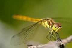 Macro projectile de libellule en heure d'été Images libres de droits