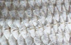 Macro projectile de peau de poissons de gardon Photographie stock libre de droits
