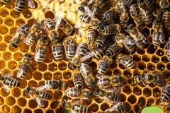 Macro projectile des abeilles photographie stock