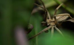 Macro punto di vista del ragno di giardino grigio Immagini Stock Libere da Diritti