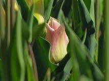 Macro punto di vista del tulipano chiuso nelle tonalit? rosa immagini stock