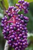 Macro of Purple Berry Bunch Stock Photo