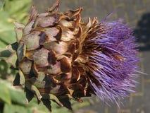 Macro of purple blooming artichokes royalty free stock photography