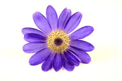 Macro of purple corn flower Royalty Free Stock Photos