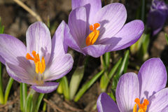 Macro of purple crocus Royalty Free Stock Images